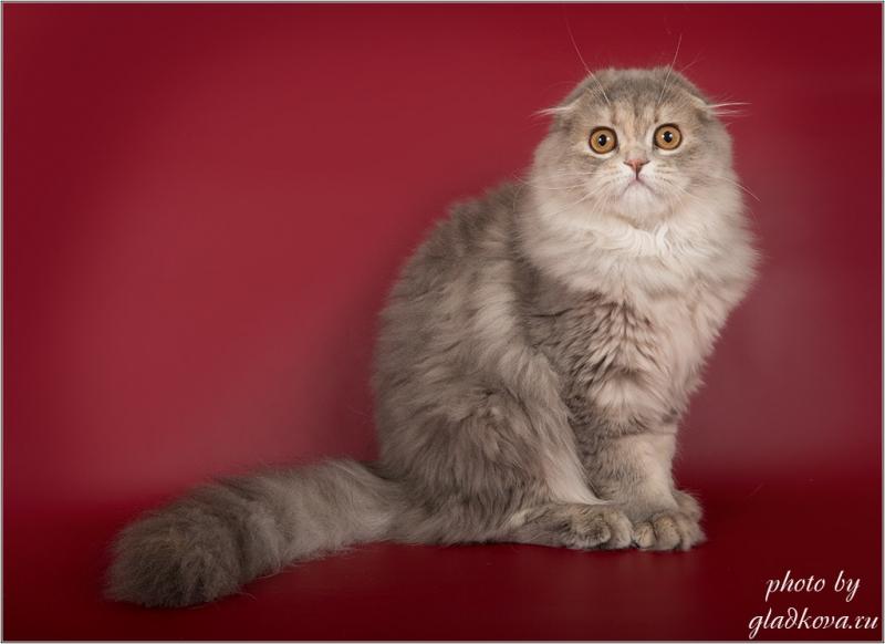 Обаятельные и привлекательные шотландские котята