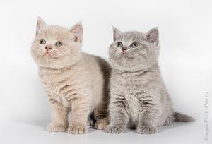 Купить британского котннка