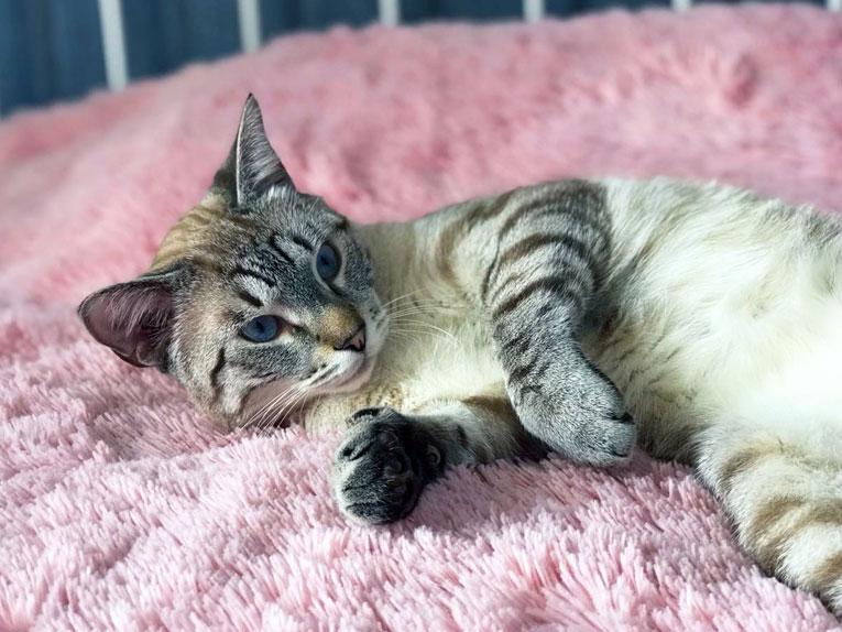 Тайский кот Никки в дар