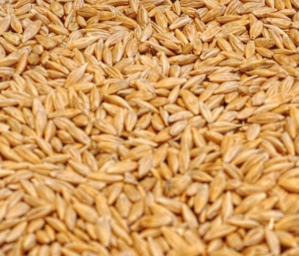 Ячмень, зерно урожай 2019 продаем франко-вагон FCA
